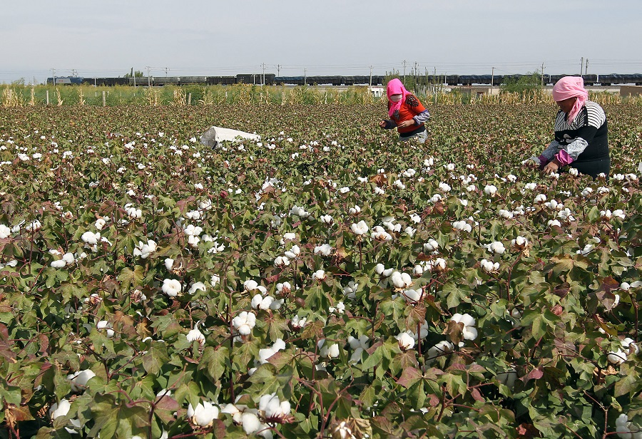 This photo taken on 20 September 2015 shows Chinese farmers picking cotton in the fields during the harvest season in Hami, Xinjiang, China. (STR/AFP)