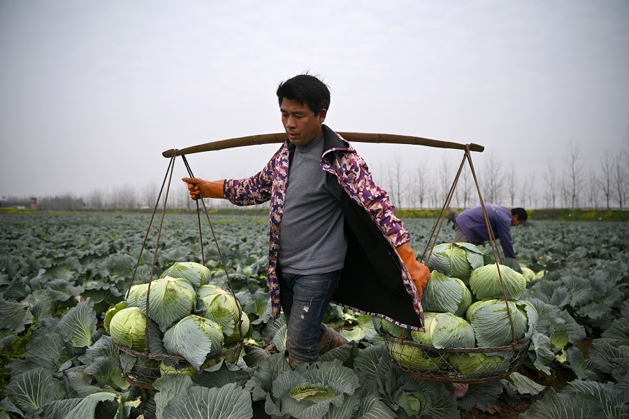 A farmer harvests cabbage at Huarong county in Hunan province, at the border of Hubei on 5 March 2020. (Noel Celis/AFP)