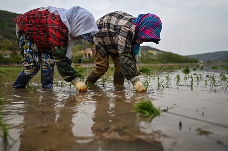 This picture taken during a government organised media tour shows women growing rice in Nanniwan, some 60 km from Yan'an, the headquarters of the Chinese Communist Party from 1936 to 1947, in Shaanxi province on 11 May 2021, ahead of the 100th year of the party's founding in July. (Hector Retamal/AFP)