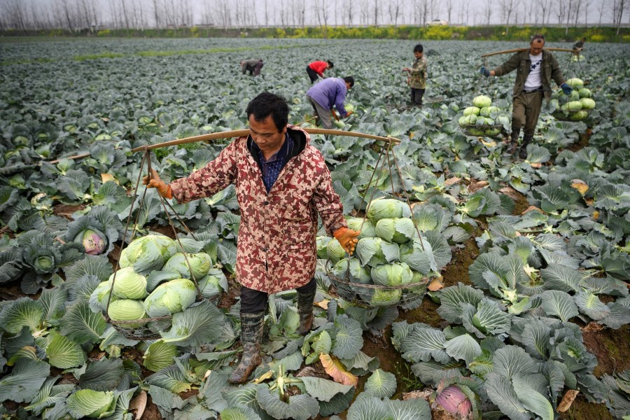 This file photo taken on 5 March 2020 shows farmers harvesting cabbages at Huarong county in Hunan province, on the border of Hubei. A national campaign to curb mounting food waste in China is feeding speculation that the supply outlook is worse than the government admits and fuelling warnings food could become another front in the worsening US-China rivalry. (Noel Celis/AFP)