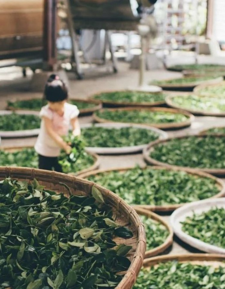 Songluo tea-making process: an emphasis is placed on picking the right leaves and controlling the fire when roasting and drying the leaves.