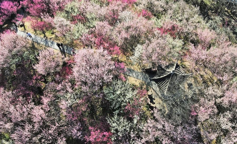 An aerial shot of people walking through the Zhuyuwan Scenic Area and admiring the blooming flowers in Yangzhou, Jiangsu province, China, 21 February 2021. (Xinhua)