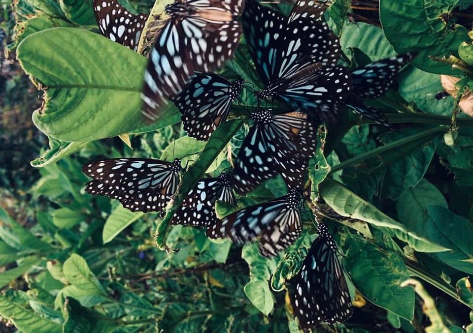 Blue tiger butterflies. (Facebook/蔣勳)