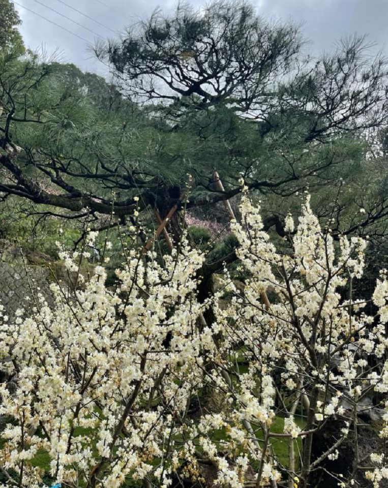 Blooming plum blossoms. (Facebook/蔣勳)