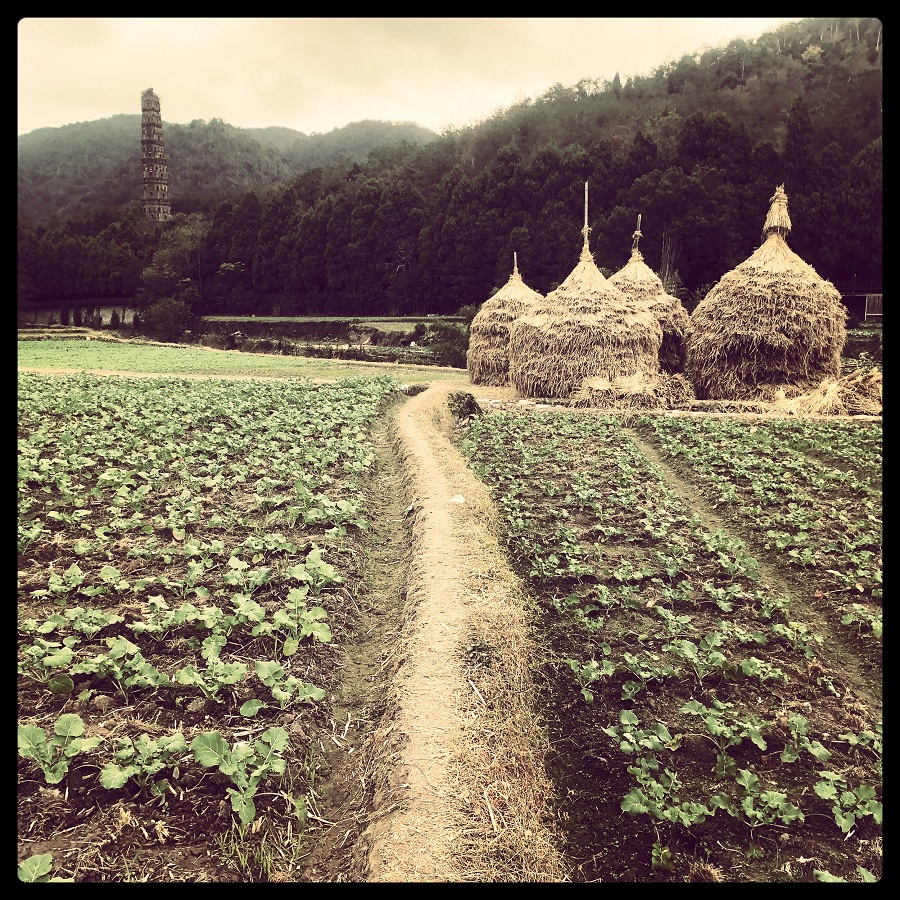 Stacking hay to dry in a special local haystack formation on farmland in Tiantai (天台).