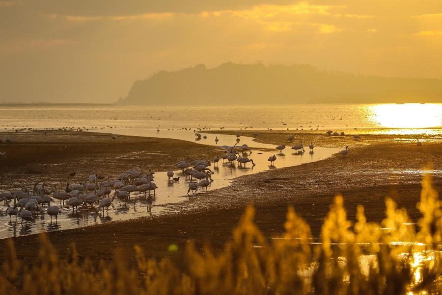 Shandong's Rongcheng Whooper Swan National Nature Reserve, 8 December 2020. (CNS)