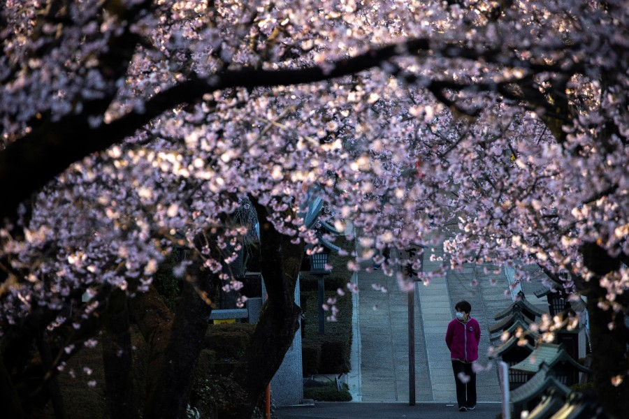 Photo story] Cherry blossoms are blooming in Wuhan, but is it spring yet?,  Culture News - ThinkChina