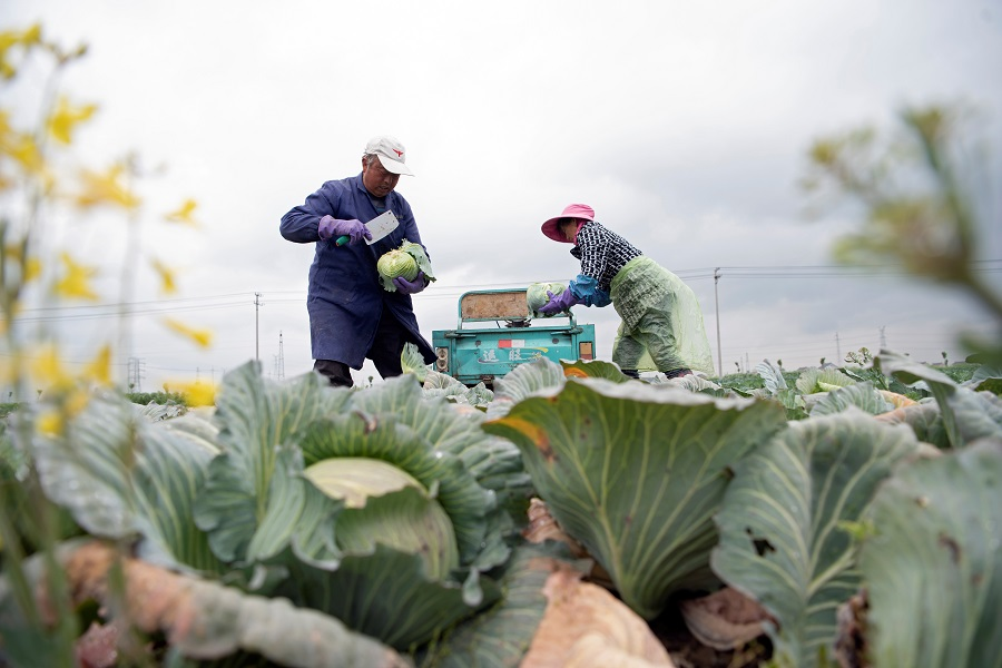 Farmers harvest vegetables at a farm in a village in Haian, Jiangsu province, China on 19 April 2020. (China Daily via Reuters)