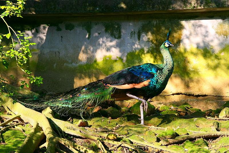 green peacock (creative commons)