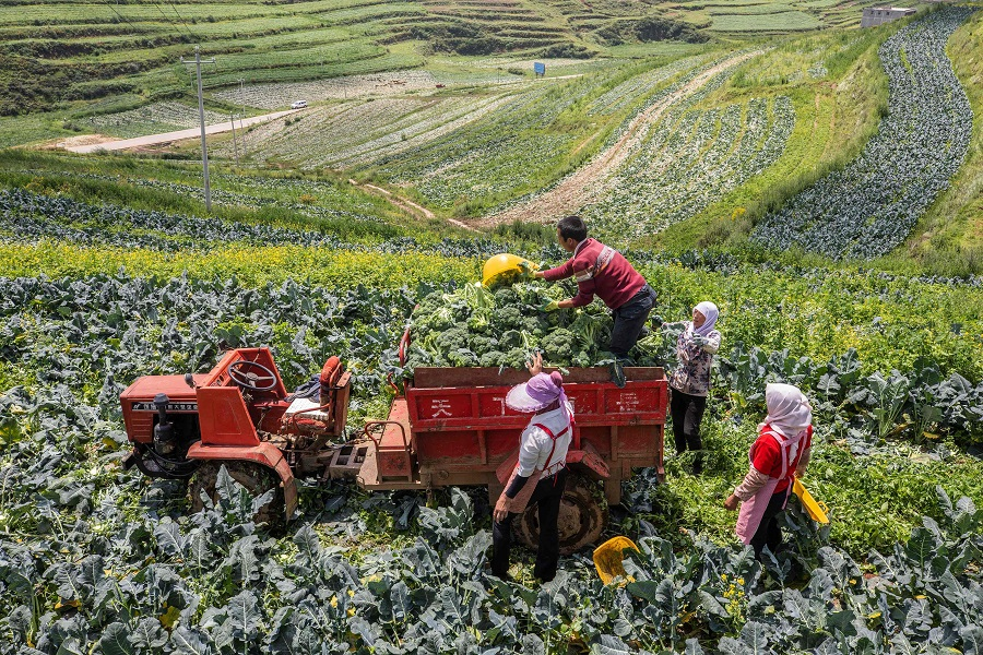 Farmers harvest broccoli at a field in Bijie, Guizhou province, China, on 8 July 2021. (STR/AFP)