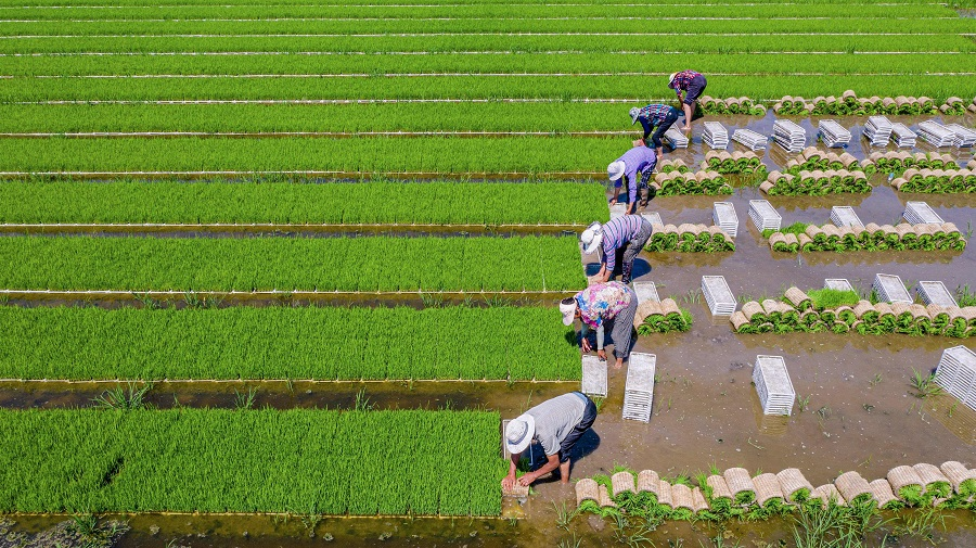 This aerial photo taken on 22 June 2021 shows farmers planting rice in a paddy in Hai'an, Jiangsu province, China. (STR/AFP)