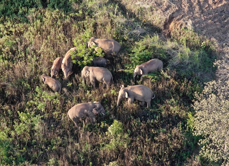 This file photo taken on 20 June 2021 and released on 24 June by Yunnan Provincial Command of the Safety Precautions of the Migrating Asian Elephants shows elephants, part of a herd which had wandered 500 kilometres north from their natural habitat, walking near Yuxi city, in Yunnan province, China. (Handout/Yunnan Provincial Command of the Safety Precautions of the Migrating Asian Elephants/AFP)