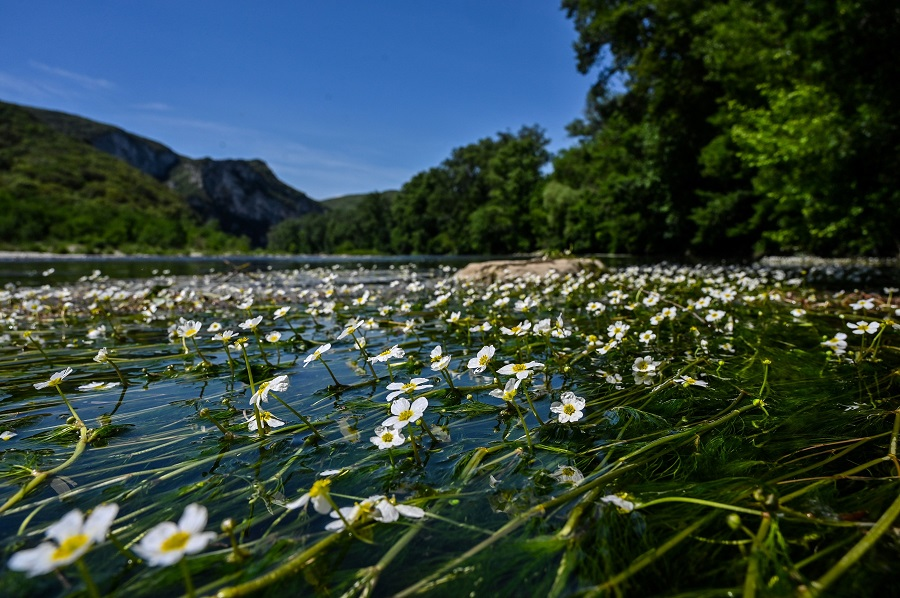 Water buttercups are seen in the Ardeche river in the Gorges de l'Ardeche, also known as the 'European Grand Canyon', in southern France, as the country is under a strict lockdown to curb the spread of the Covid-19 pandemic, on 7 May 2020. (Philippe Desmazes/AFP)