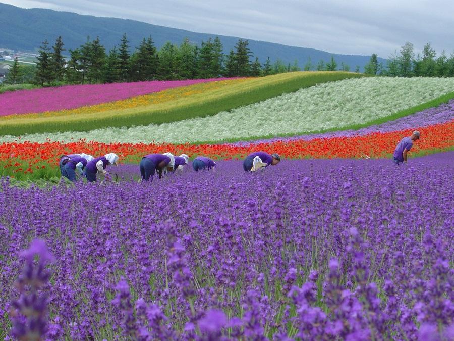 Farm Tomita in Hokkaido, Japan. (UOB Travel)