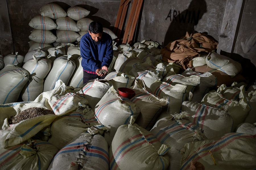 This photo taken on 26 November 2020 show a man checking Gayo arabica coffee beans during a harvest time at a warehouse at highland in Bener Meriah, Aceh province, Indonesia. (Chaideer Mahyddin/AFP)