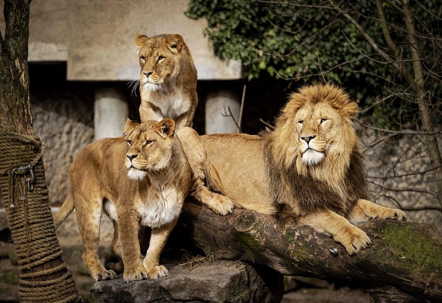 A lion and lionesses gather in their enclosure at Artis Zoo, Natura Artis Magistra, in Amsterdam, Netherlands, on 22 February 2021. (Robin van Lonkhuijsen/ANP/AFP)