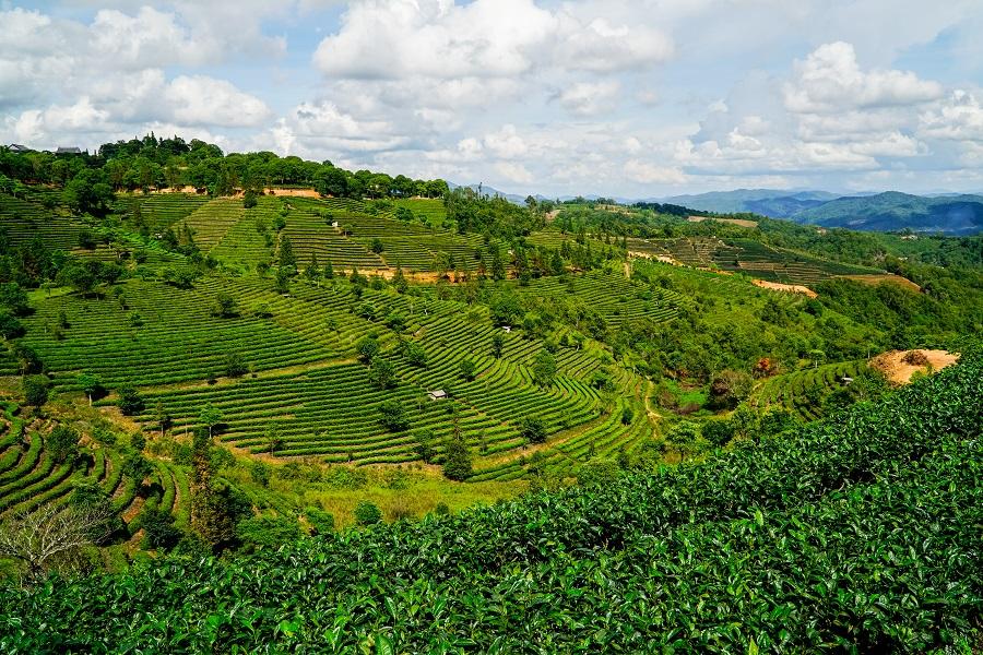 A tea plantation in Pu'er, Yunnan. (iStock)