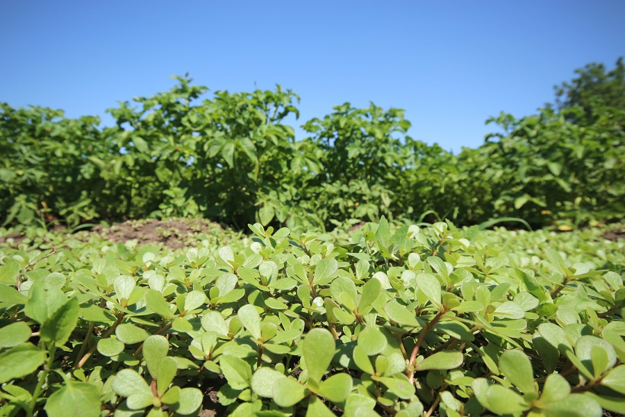 A field of wild purslane. (iStock)