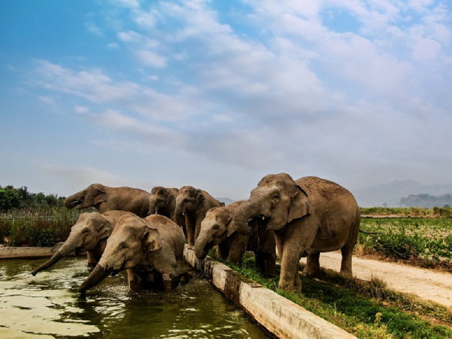 Elephants forage at a farm on Aug. 31 near Simao district in Puer, Southwest China's Sichuan province. Photo: Zheng Xuan/State-Owned Asian Elephant Research Center