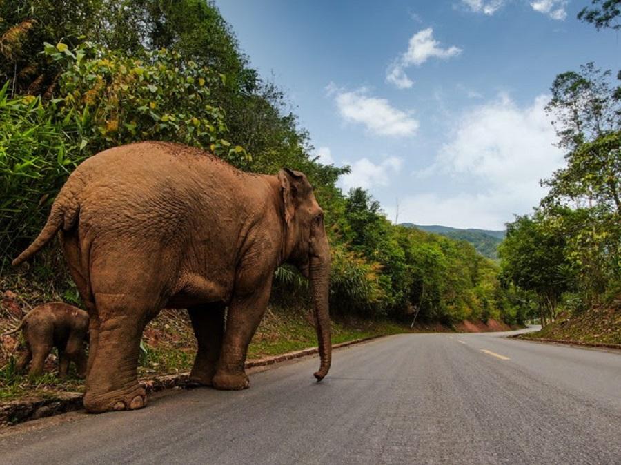 Two Asian elephants walk along a road in Jiangcheng county on June 10. Photo: Zheng Xuan/State-Owned Asian Elephant Research Center