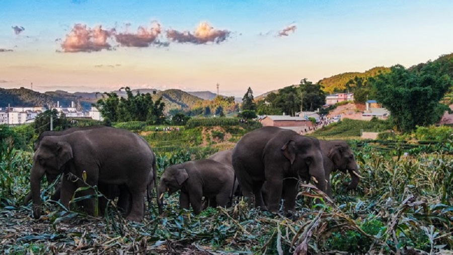 Elephants forage at a farm near Simao district in Pu'er, Yunnan province, China. (Zheng Xuan/State-Owned Asian Elephant Research Center)