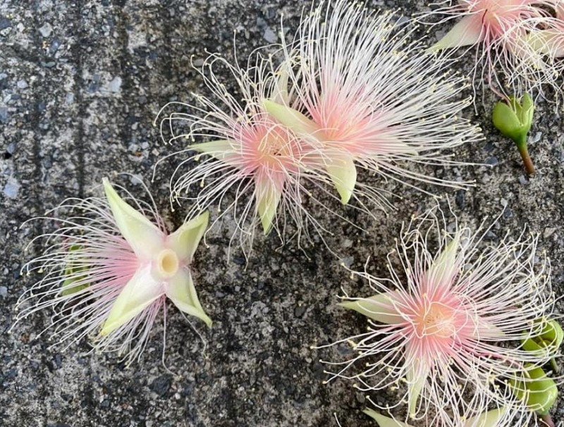 Barringtonia racemosa flowers. (Facebook/蔣勳)