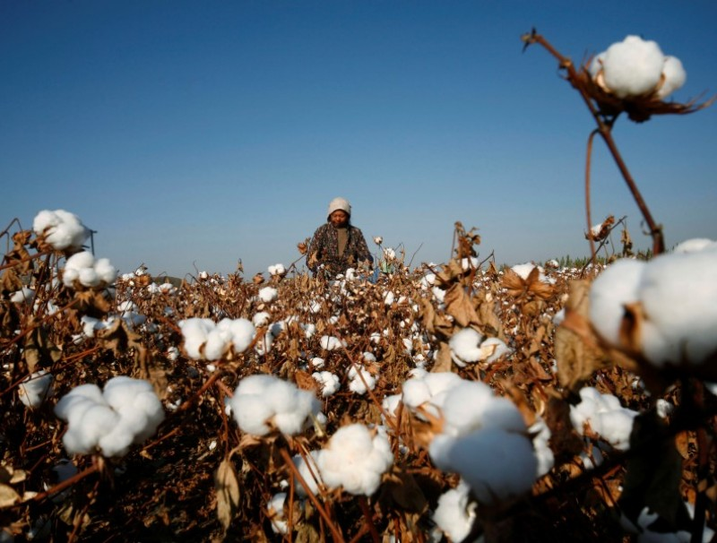 A farmer picks cotton on a farm on the outskirts of Hami, Xinjiang Uighur Autonomous Region, 3 November 2010. (Stringer/Reuters)