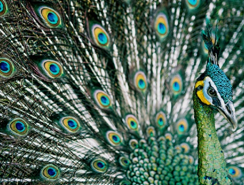 The conservation of China's green peacocks sparked huge debate in China recently. (Photo: Arddu, https://www.flickr.com/people/21178134@N00 / Licensed under CC BY 2.0, https://creativecommons.org/licenses/by/2.0/)