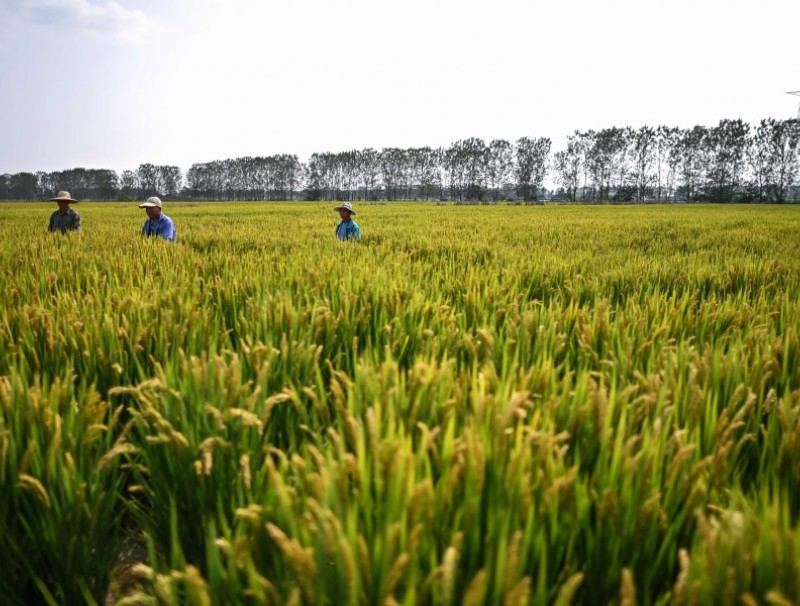 People work in a rice field of Runguo Agriculture Development Company during a media tour organised by the local government in Zhenjiang, in China's eastern Jiangsu province on 13 October 2020. (Hector Retamal/AFP)