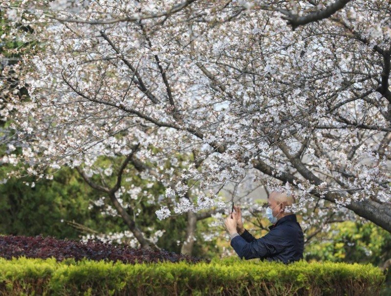 A staff member takes photos of cherry blossoms at Wuhan University, 17 March 2020. (STR/AFP)