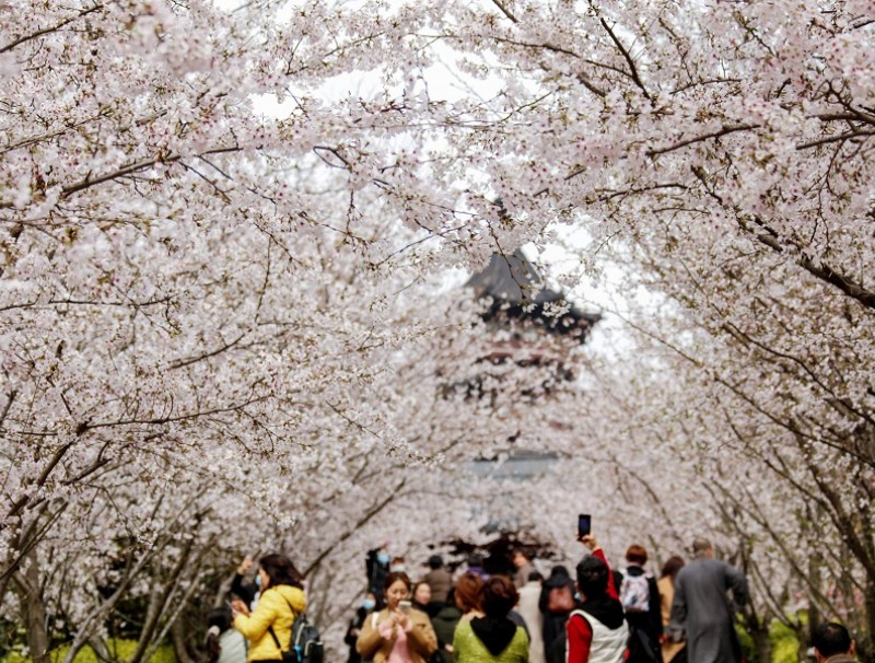 This photo taken on 20 March 2021 shows people viewing cherry blossoms in Nanjing, Jiangsu province, China. (STR/AFP)