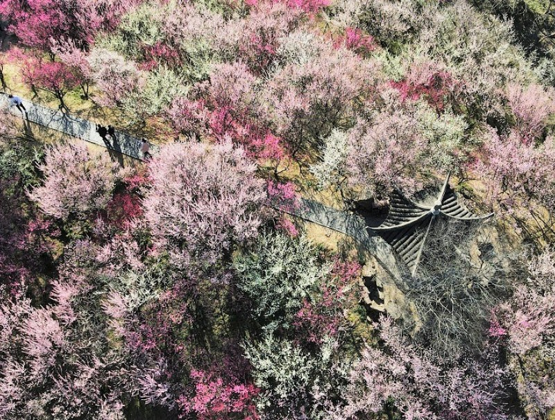 An aerial shot of people walking through the Zhuyuwan Scenic Area and admiring the blooming flowers in Yangzhou, Jiangsu province, China, 21 February 2021. (Xinhua)