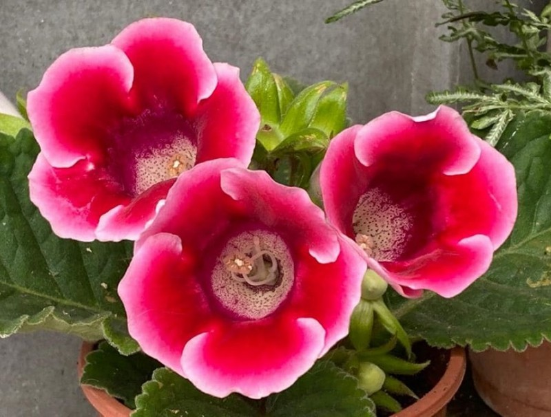 Chiang's potted gloxinia is in full bloom. (蔣勳/Facebook)