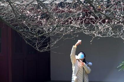 A woman takes a photo of a plum tree in Fuzhou, Fujian province, China, 18 January 2021. (CNS)