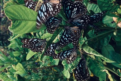 Blue tiger butterflies. (Facebook/蔣勳)