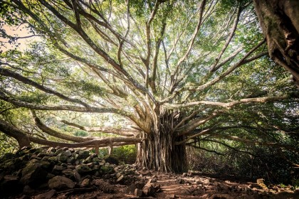 A massive banyan tree. Trees are worshipped like gods in rural areas and are not cut down easily. (iStock)